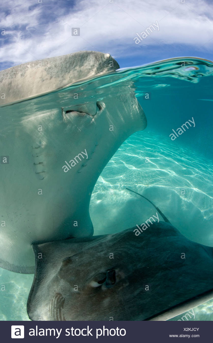 Over/under photograph of a pair of Pink whiprays (Himantura fai), in a lagoon in Moorea, French Polynesia - Stock Image