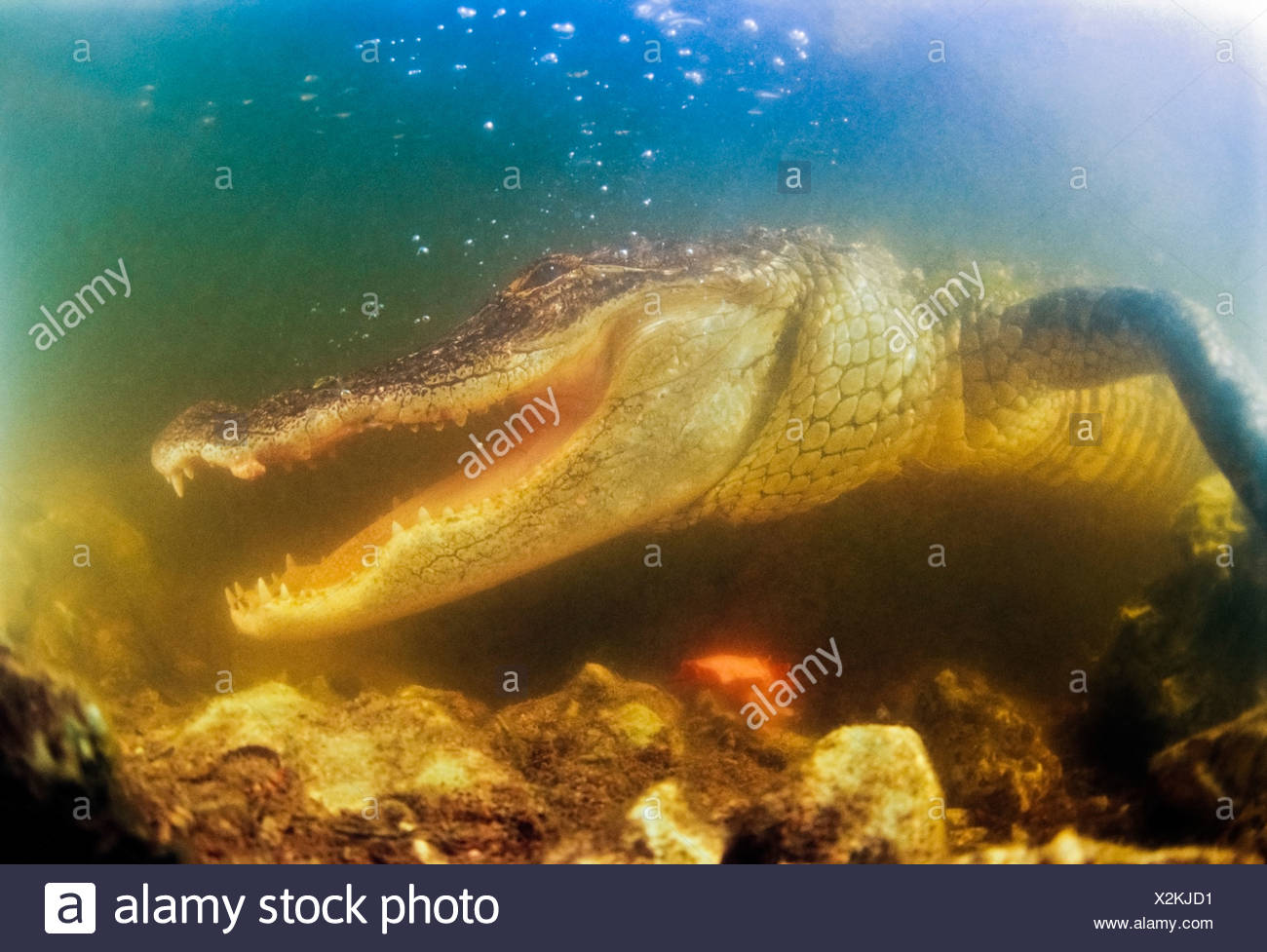American Alligator with Jaws agape - Stock Image