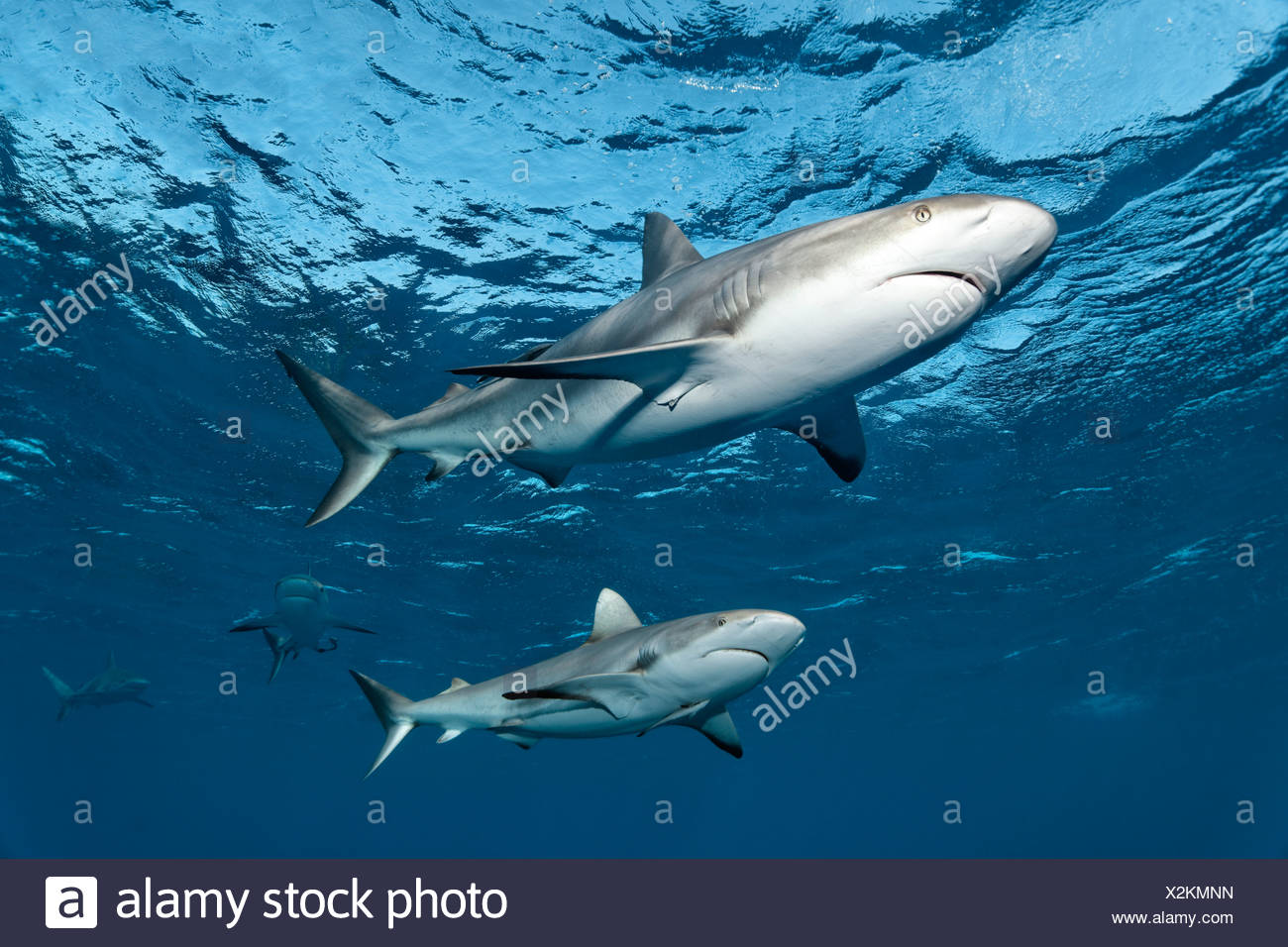 Caribbean reef sharks (Carcharhinus perezi), swimming in open water, Republic of Cuba, Caribbean, Central America - Stock Image