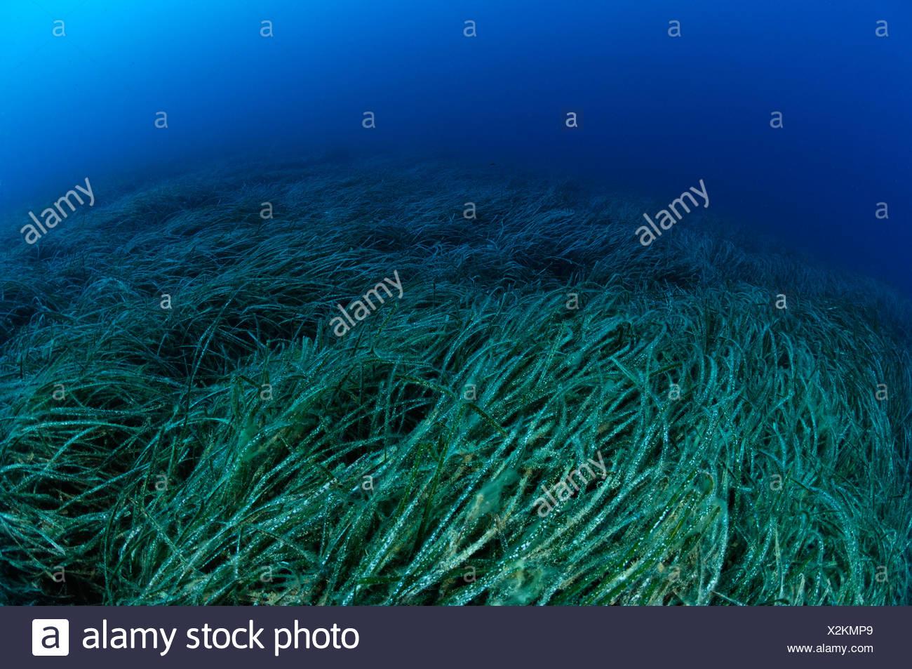 Seagrass Meadow Posidonia oceanica Susac Island Adriatic Sea Croatia - Stock Image