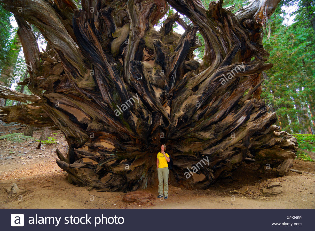 Woman standing in front of the huge roots of a Giant Sequoia (Sequoiadendron giganteum), Sequoia National Park, California, USA - Stock Image