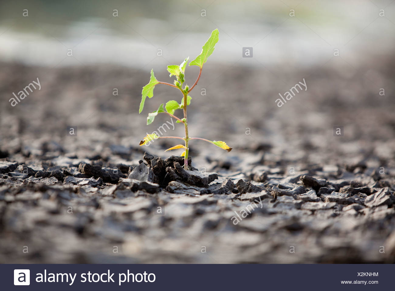 Growth out of hardship a small green shoot breaking out of the arid ground - Stock Image