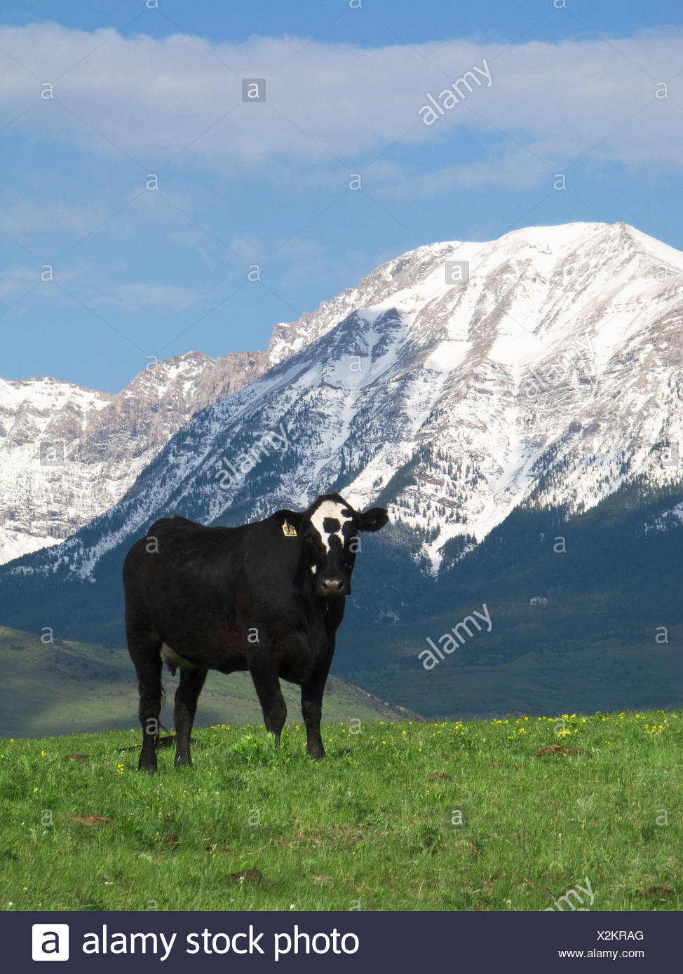 Black speckled face beef cow on a foothill pasture with snow covered Canadian Rockies in the background / Alberta, Canada. - Stock Image