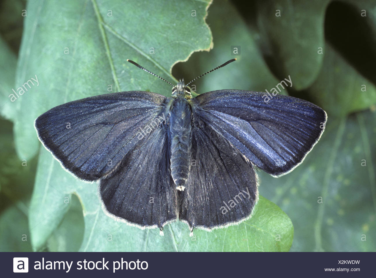 Purple Hairstreak - Favonius quercus - Stock Image