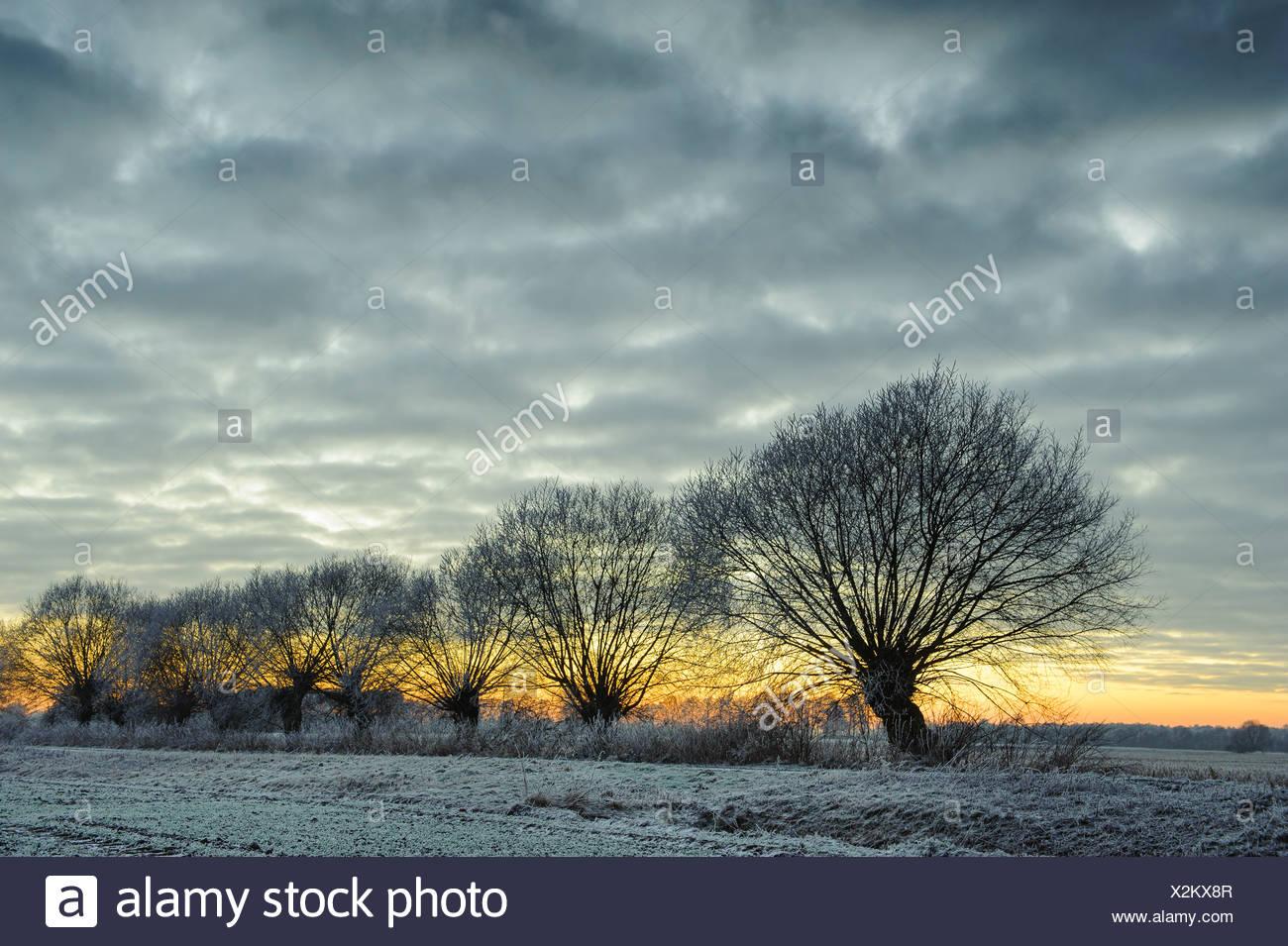 Pollard willows in winter, Vechta district, Niedersachsen, Germany - Stock Image