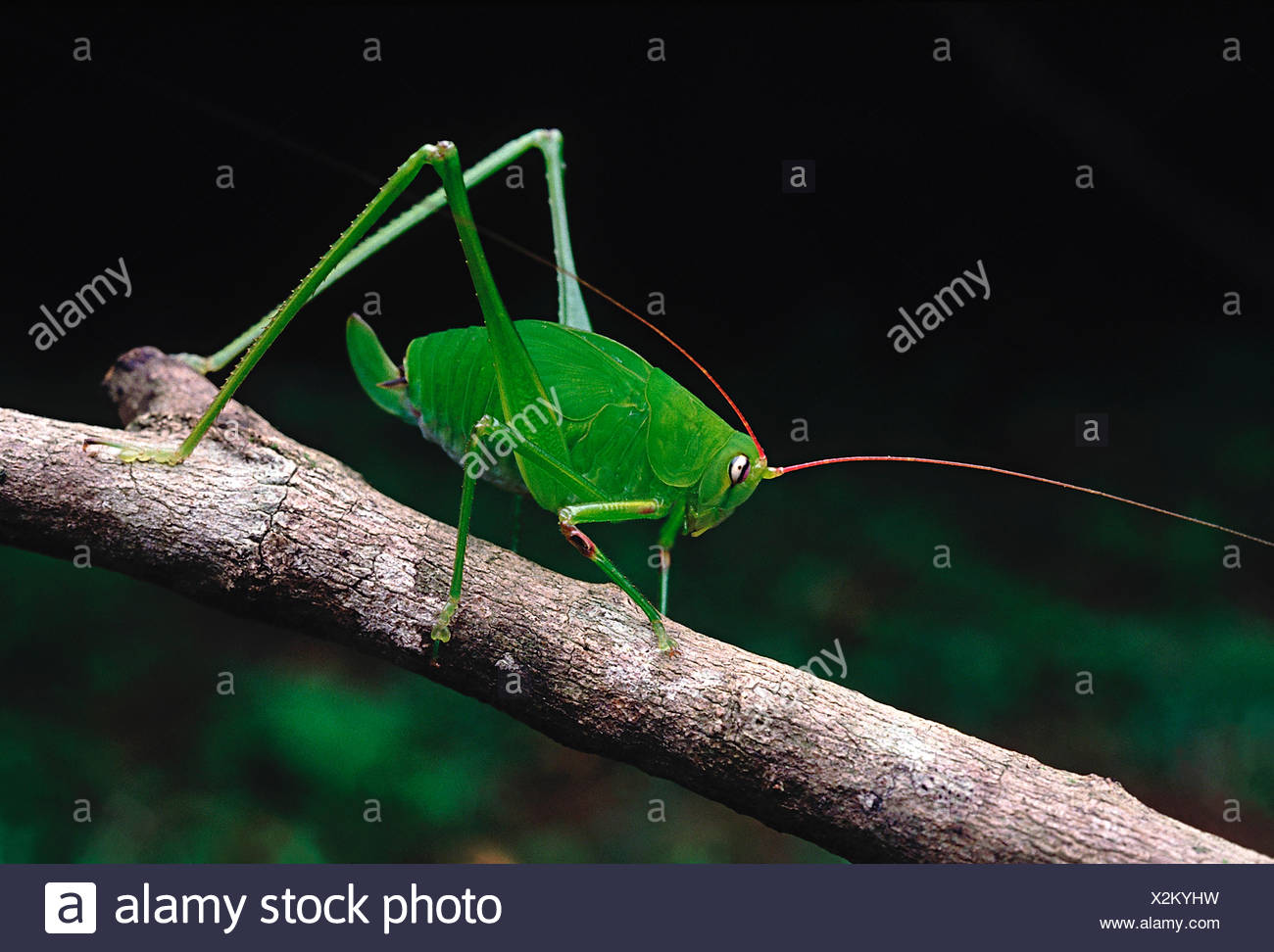 Bush cricket. A cricket with extremely long antennae and hind legs. The body colour blends in well with the greenery of the fore - Stock Image