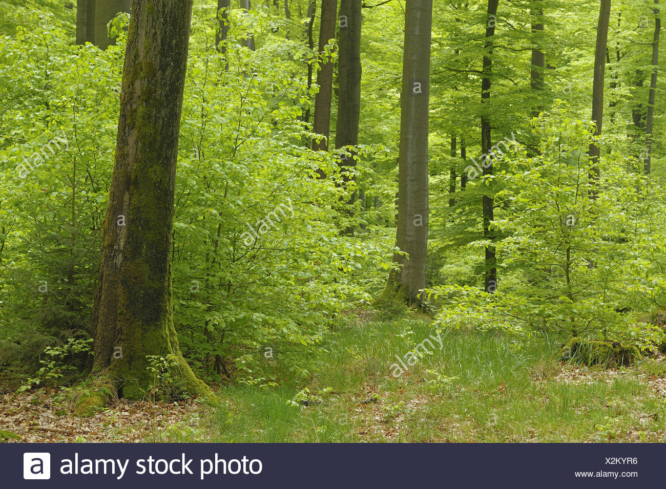 Beech forest, Germany Stock Photo