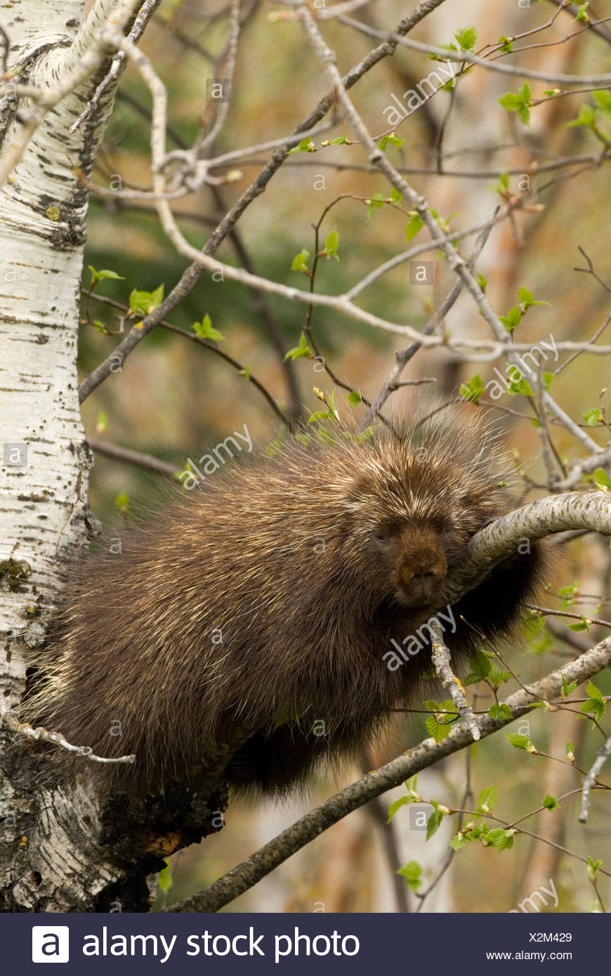 A Porcupine laying in a tree. Stock Photo