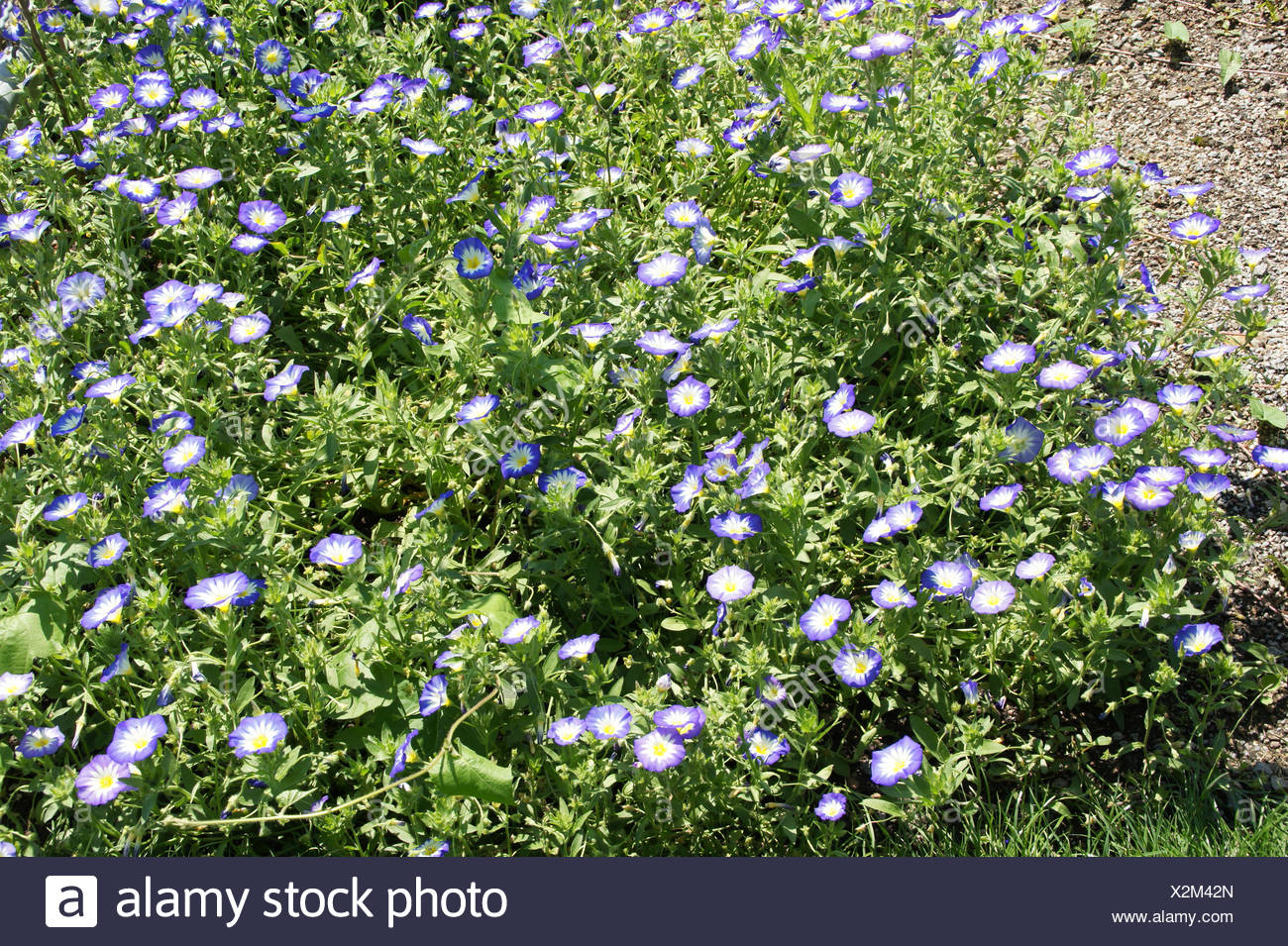 Convolvulus tricolor, Dwarf morning glory - Stock Image