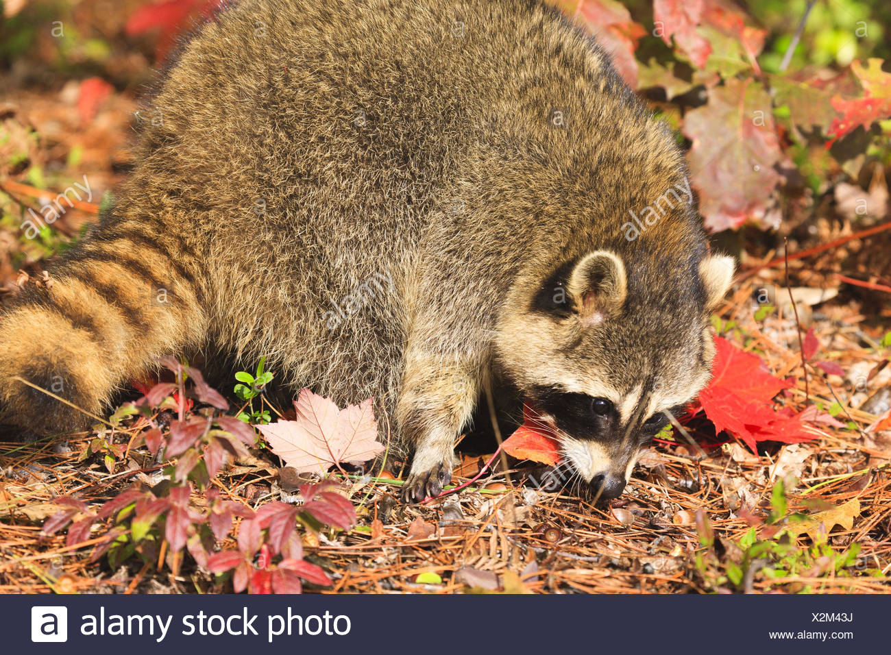 Racoon Searching For Food In The Forest Floor Autumn Usa