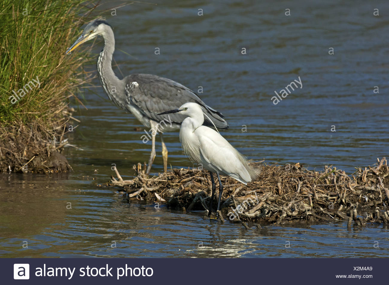 Comparison in size, Little Egret and Grey Heron - Stock Image