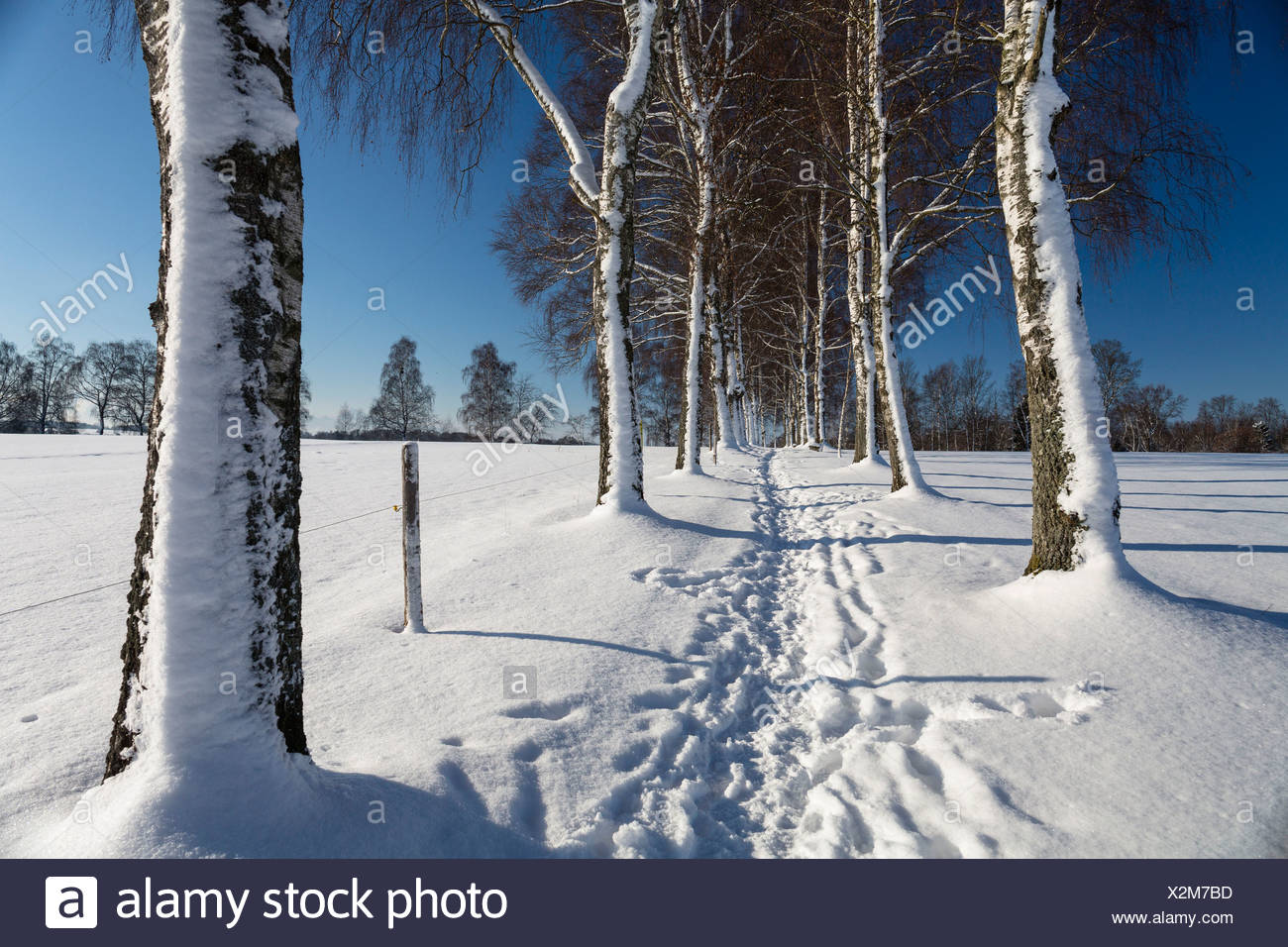 Snow-covered tree-lined path, Oberbayern, Uffing, Bavaria, Germany - Stock Image