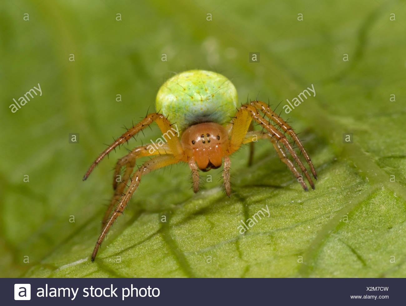 Cucumber or Green Orb Weaver Spider Araniella cucurbitina on leaf in garden bright green abdomen - Stock Image