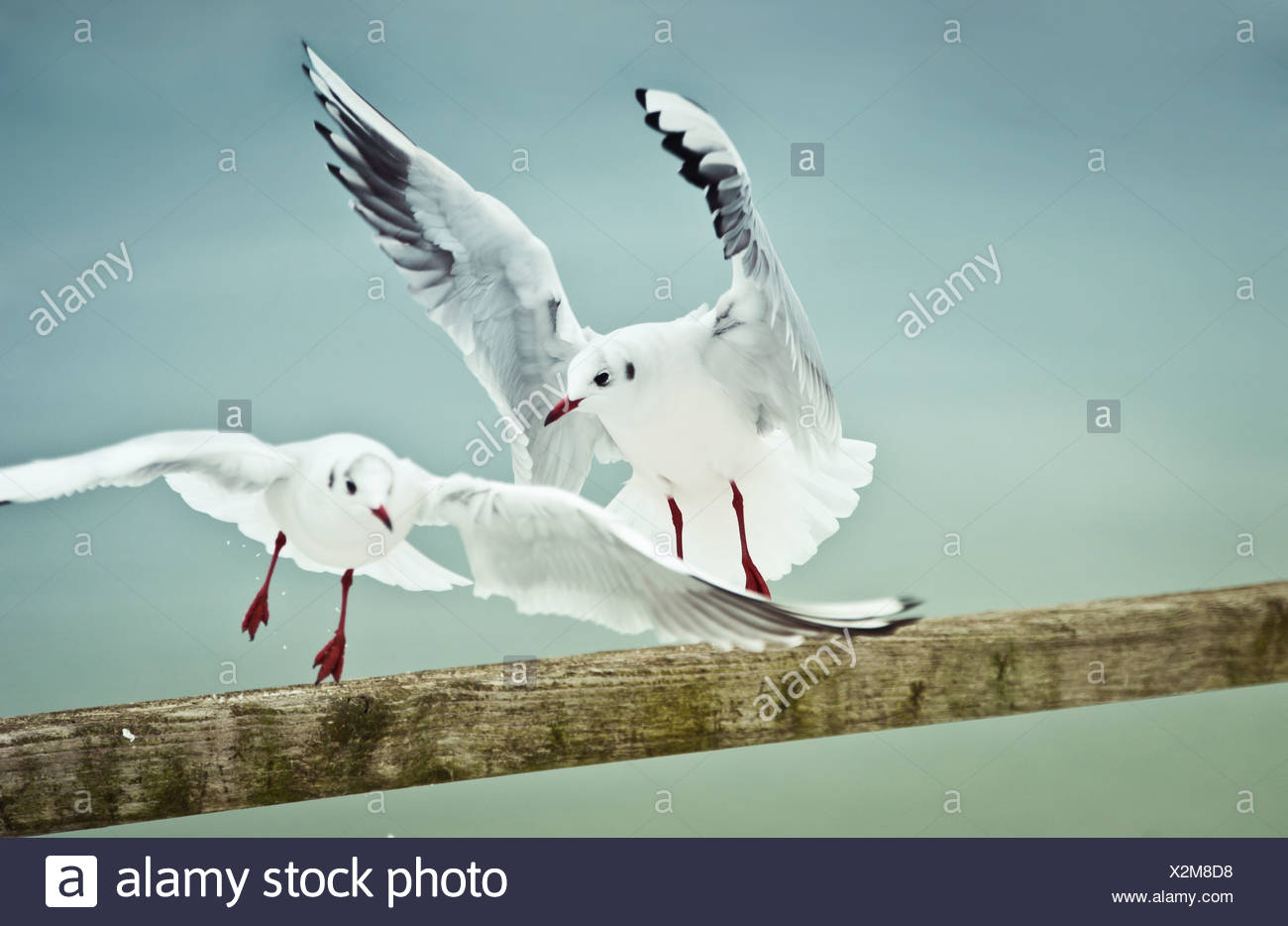 confrontation,rivalry,flying,seagull - Stock Image