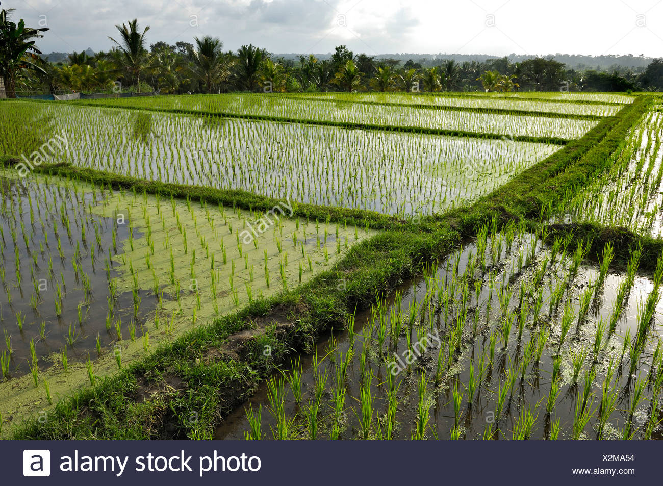 Rice paddies near Mengwi, Bali, Indonesia, South East Asia - Stock Image