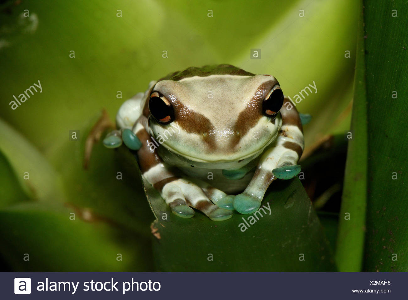 Toad foliage frog, leaves, sit, portrait, tree pits-toad foliage frog, frog, foliage frog, frog Amphibian, amphibian, wild animal, animal, nature, green, Brazil, the Amazon, Amazon region, rainforest, animal portrait, - Stock Image