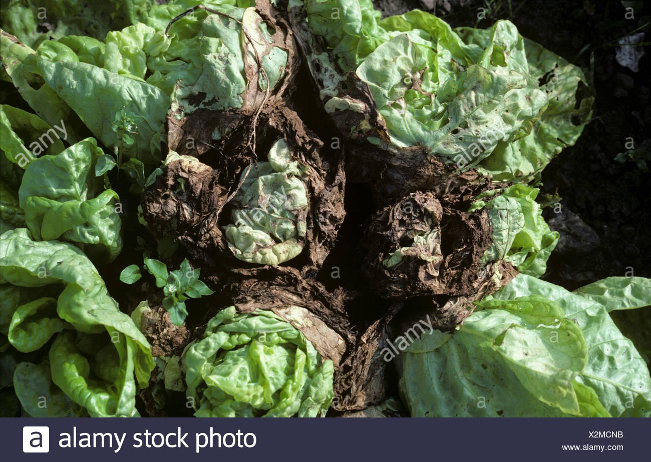 Grey mould (Botrytis cinerea) infection of maturing lettuce plants in damp weather - Stock Image