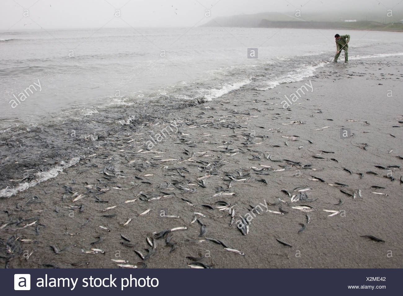 Capelin (Mallotus villosus) rolling up onto the beach to spawn, Branch, Newfoundland, Canada - Stock Image