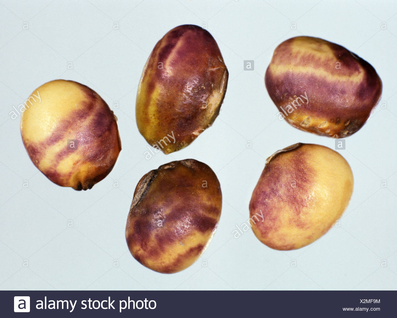 Purple stain (Cercospora kikuchii) characteristic damage to soya seeds, Thailand - Stock Image