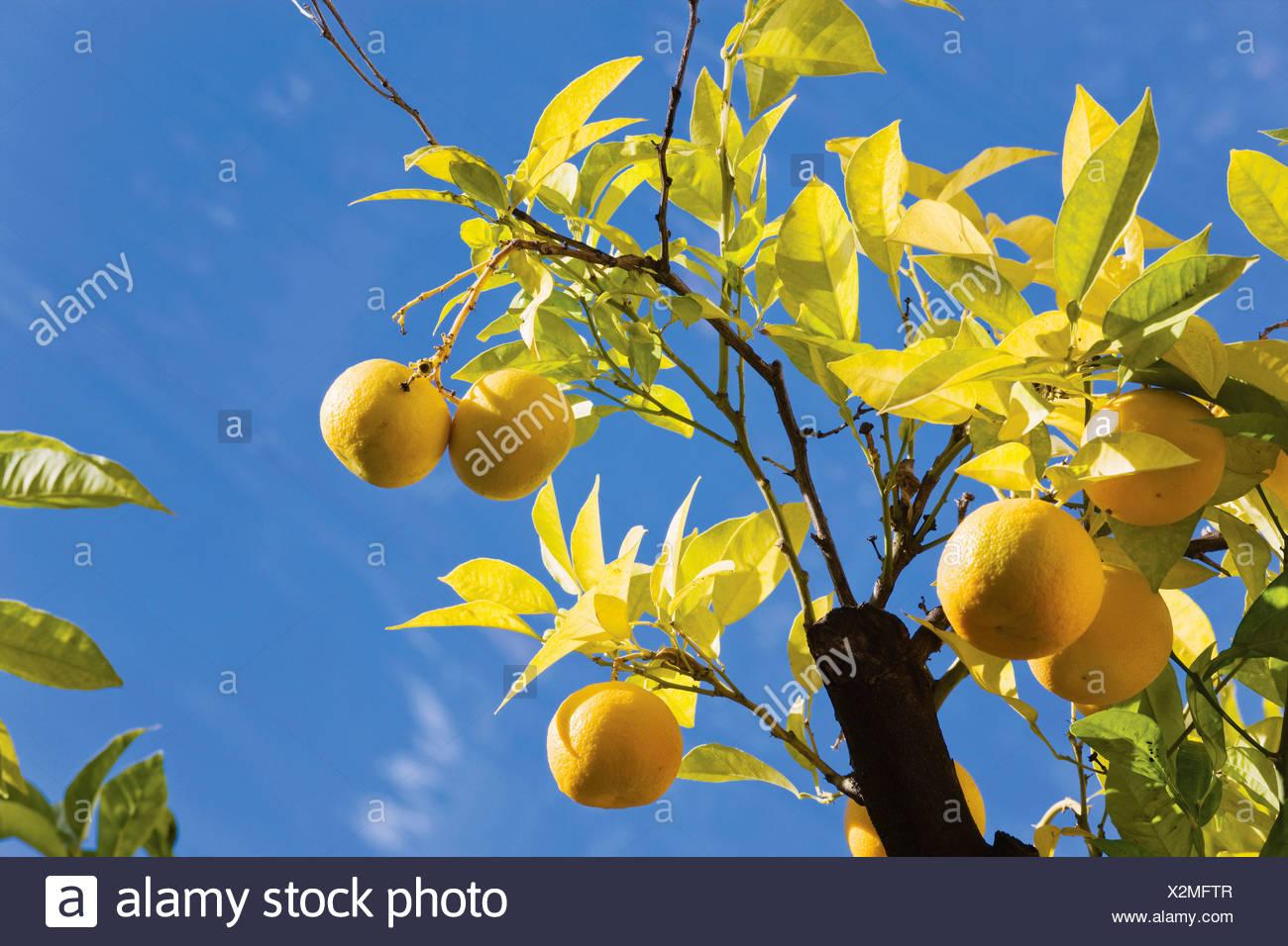 Bunches of oranges on orange tree Stock Photo