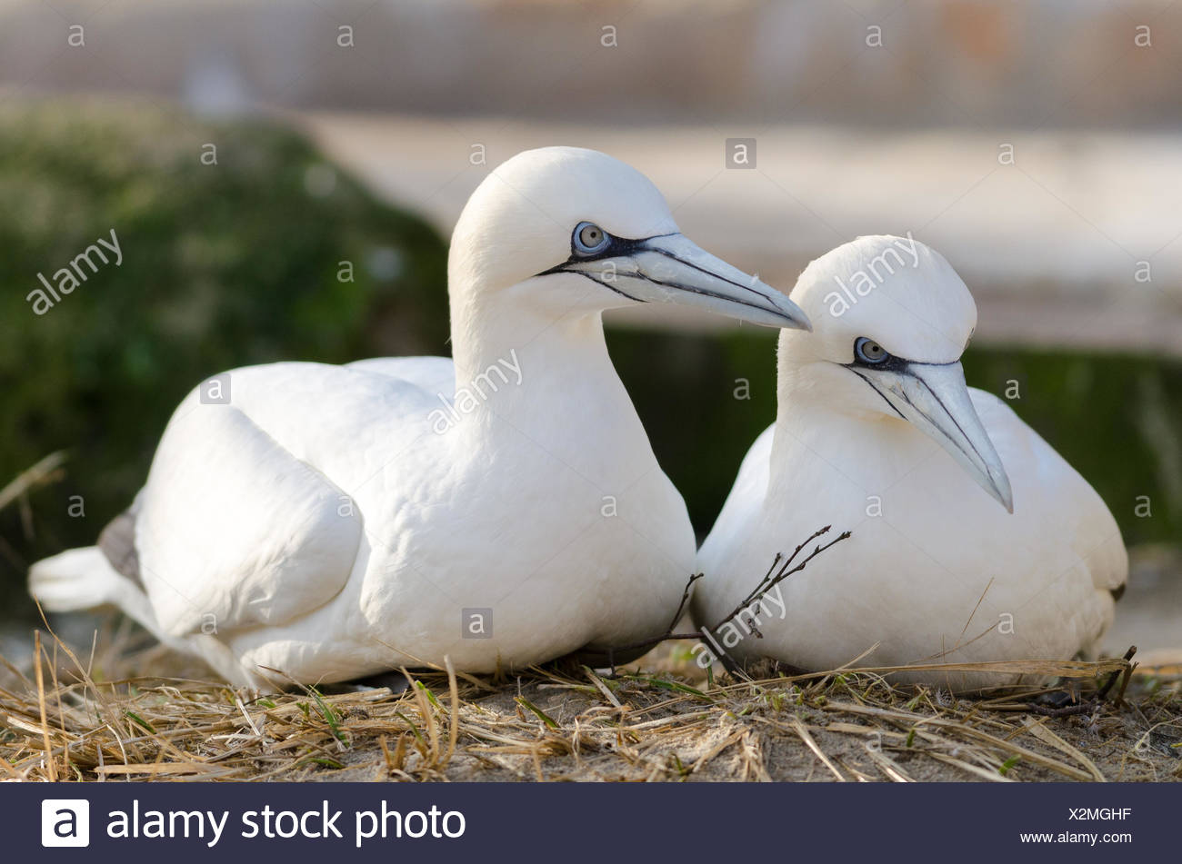Nothern Gannet - Stock Image