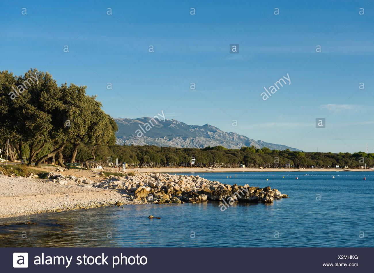 Dalmatian Oaks (Quercus sp.) at a beach, campsite in Novalja, Pag Island, Adriatic Sea, Gulf of Kvarner, Croatia, Europe - Stock Image