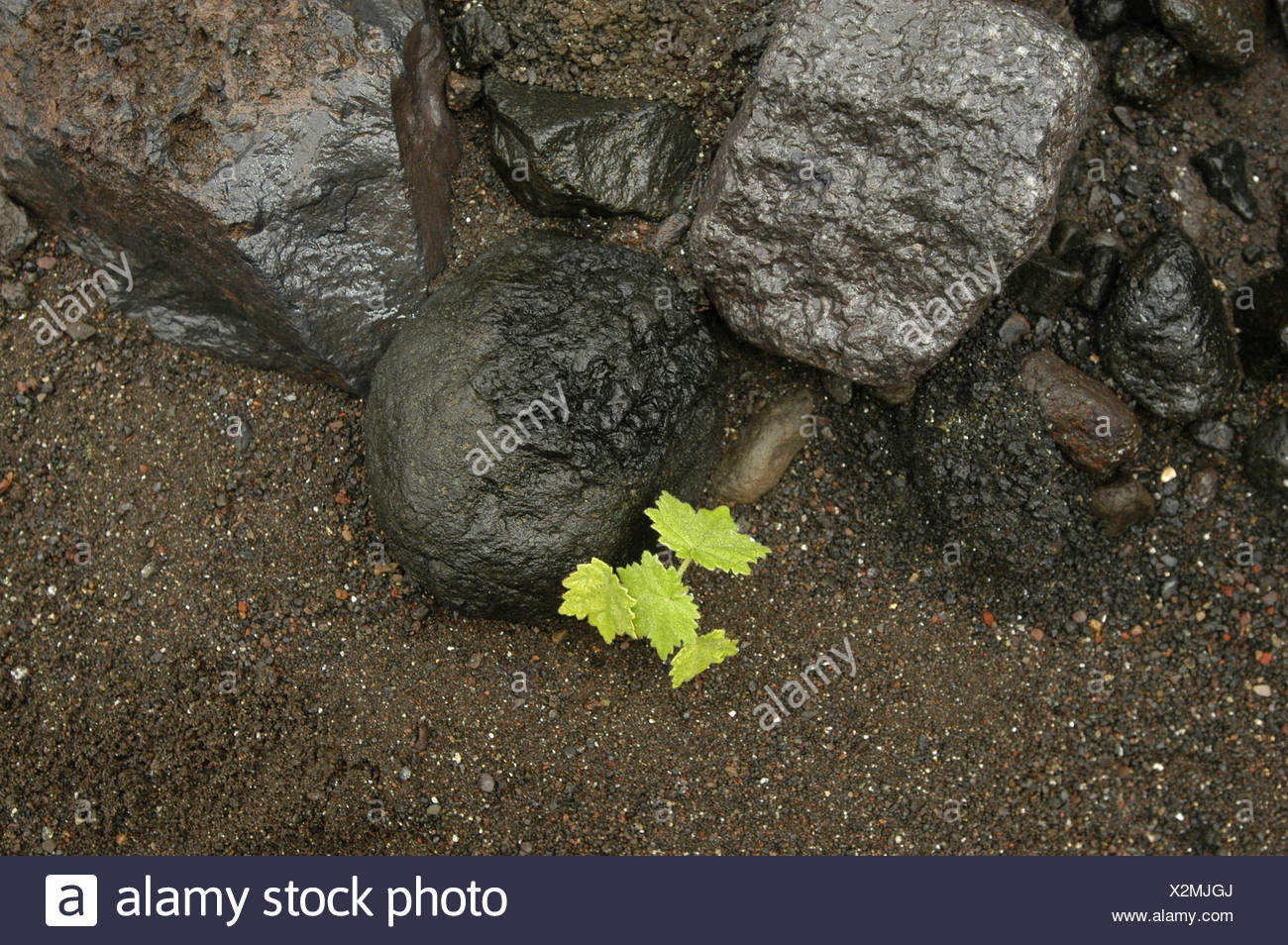 leaves rocks cliffs contrast opposition gray green Ile de la Reunion Indian ocean gravel contrast plant - Stock Image
