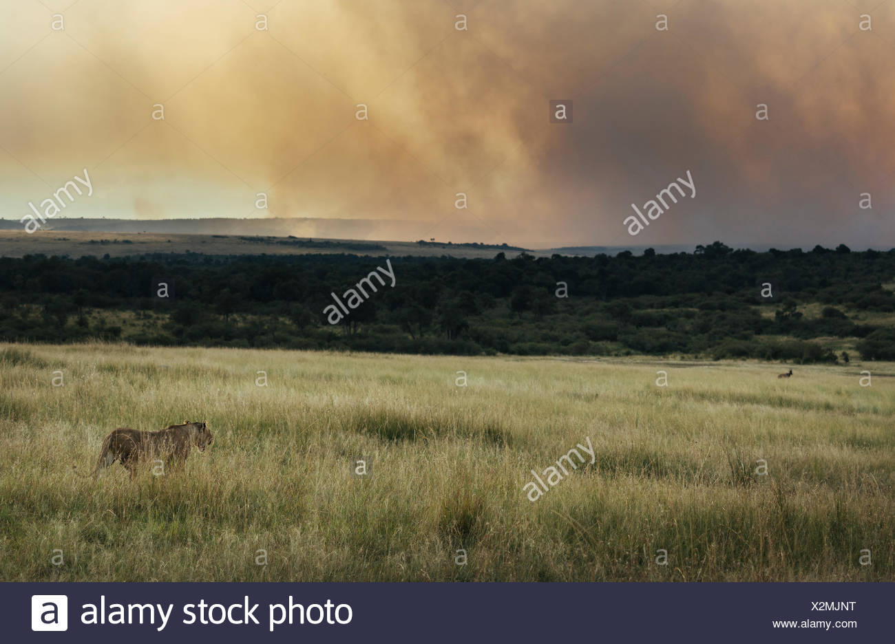 A lioness, Panthera leo, hunting a topi in tall grass. - Stock Image