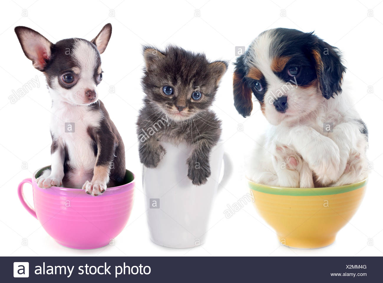 images of teacup dogs.html