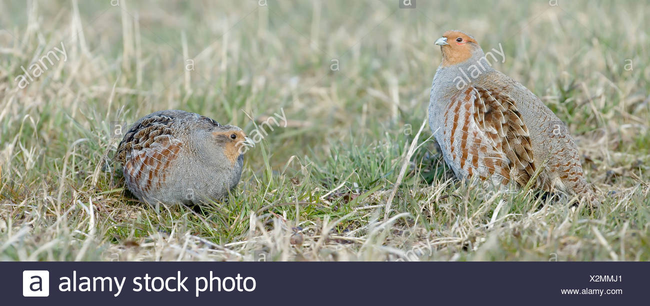 partridge in field (this photo consists two photo's) - Stock Image