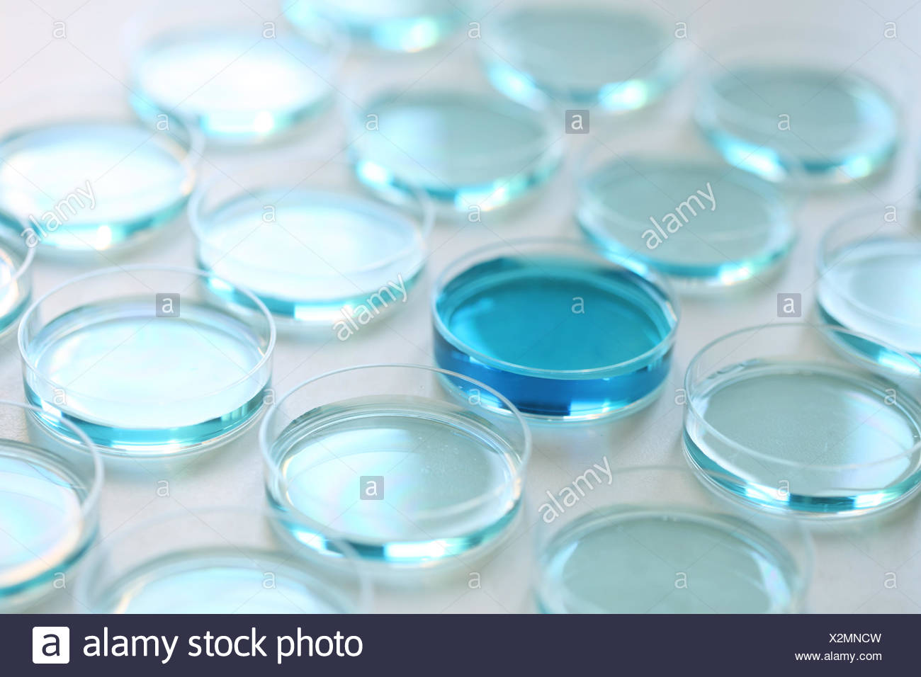Petri dishes with blue liquid - Stock Image