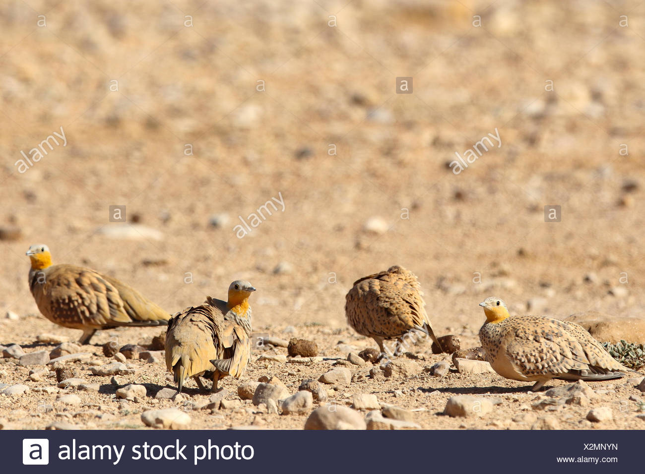 Spotted sandgrouse, Pterocles senegallus, on ground. Stock Photo