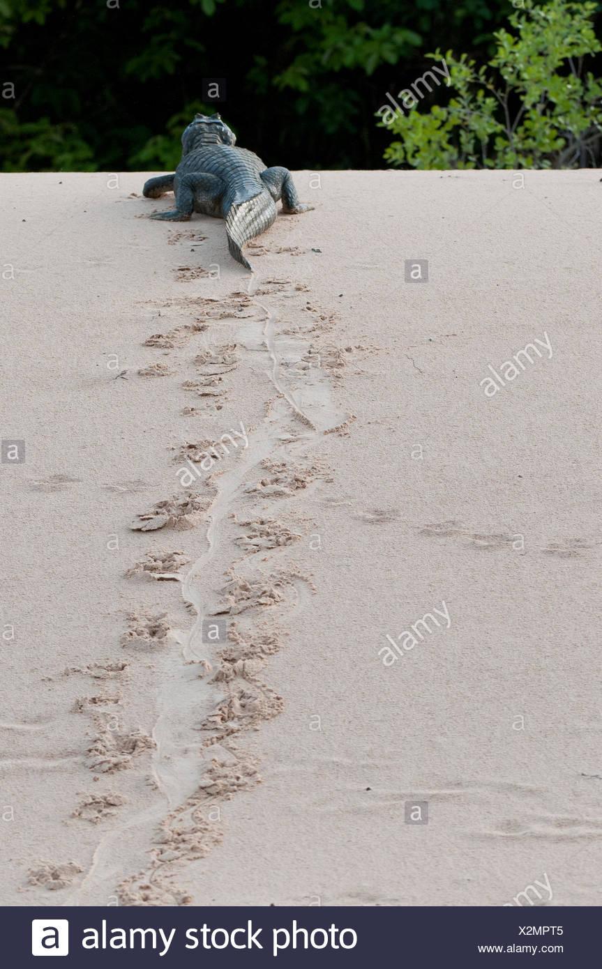 A yacare caiman, Caiman yacare, on the move. - Stock Image