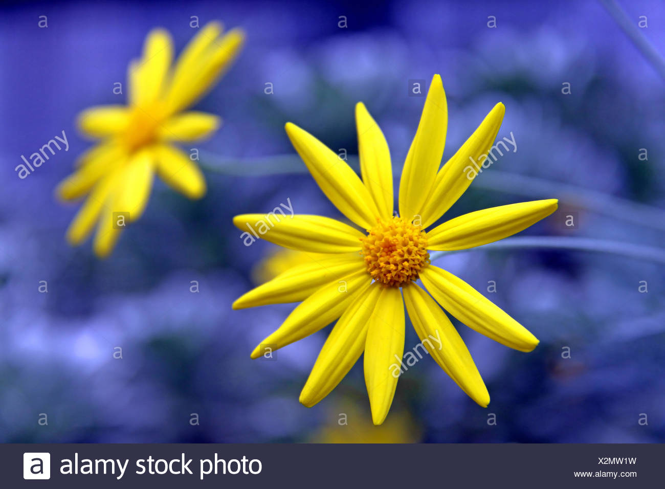 Blue Colour Contrast Yellow Blue Flower Plant Blossoms South Africa
