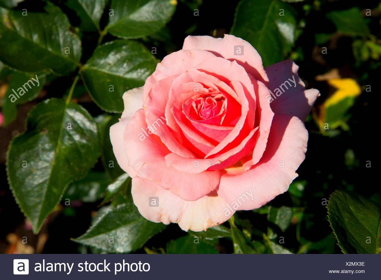 Tournament of Roses rose, Heirloom Roses, St Paul, Oregon. - Stock Image