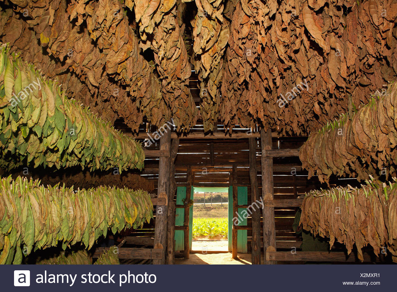 PINAR DEL RIO: TOBACCO LEAVES DRYING SHED IN VINALES - Stock Image