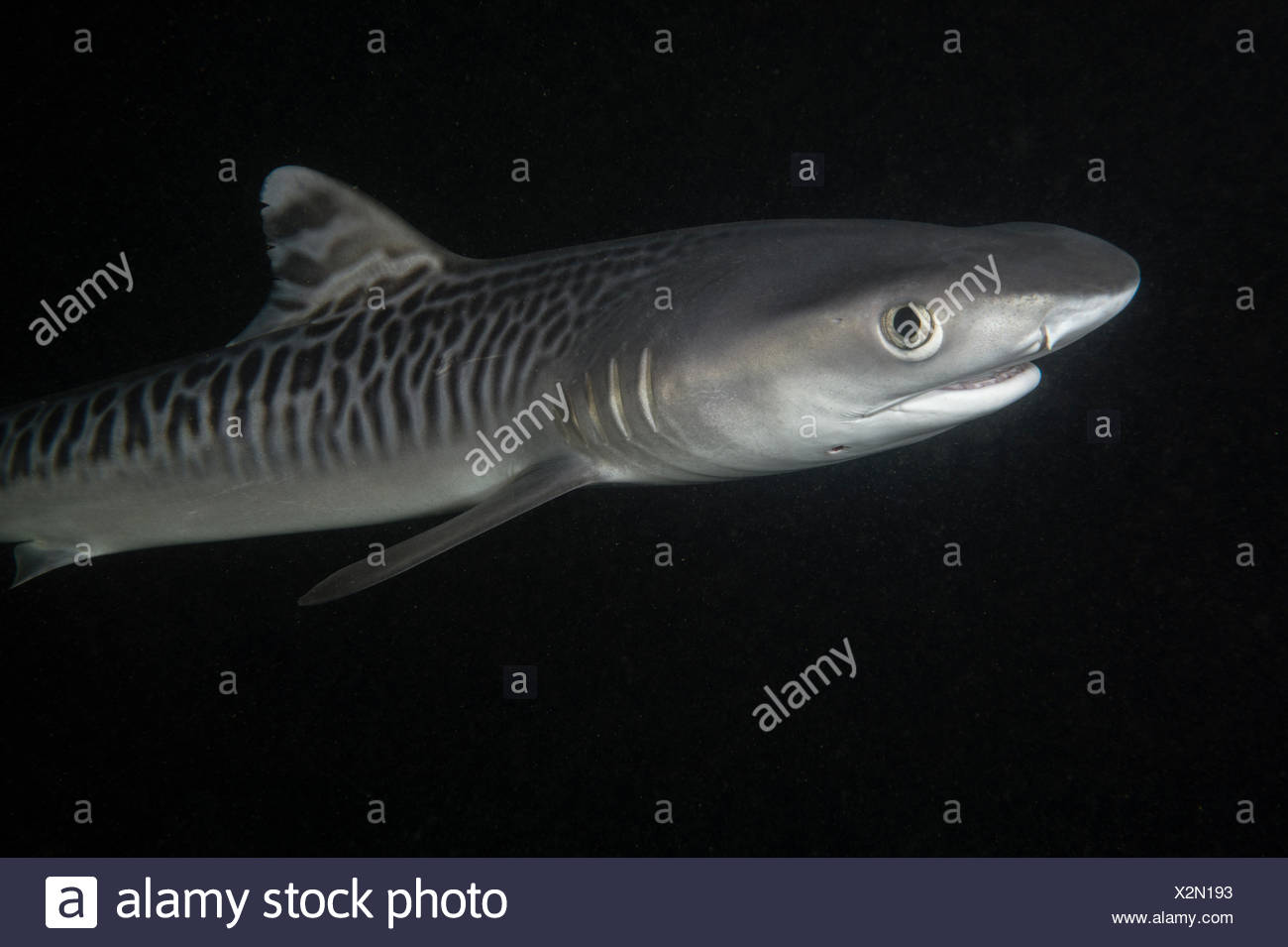 A newborn tiger shark pup has distinct striped markings along its three-foot body. - Stock Image