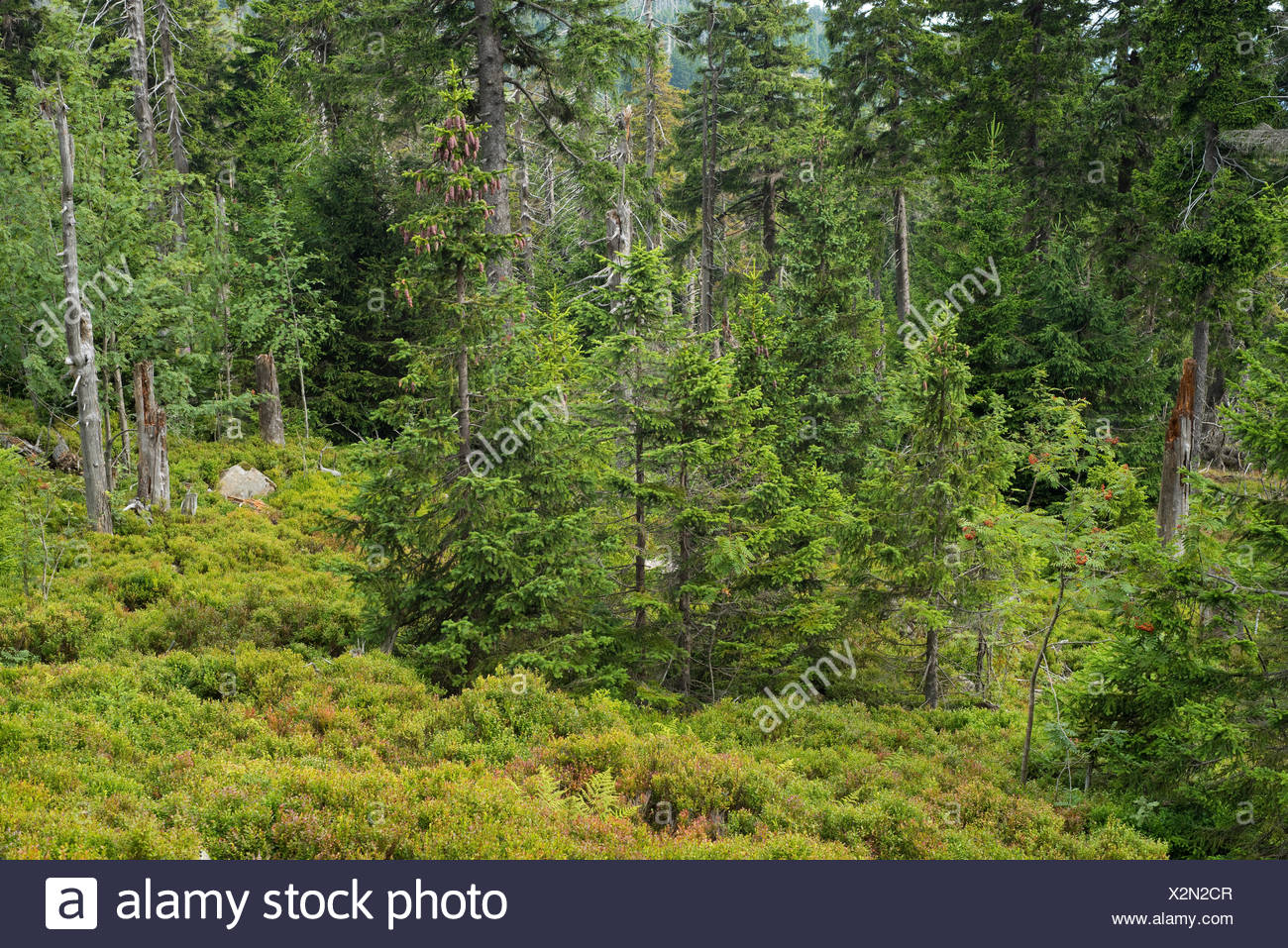 Spruce jungle, Norway Spruce trees (Picea abies), on Mt Brocken, Harz National Park, Saxony-Anhalt, Germany - Stock Image