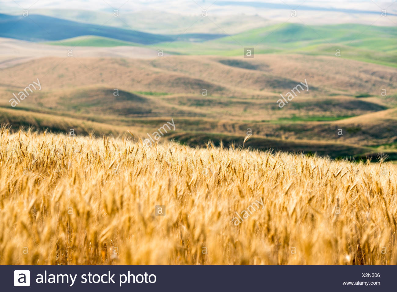Wheat field with rolling hills of the Palouse in background. Washington State, USA. - Stock Image
