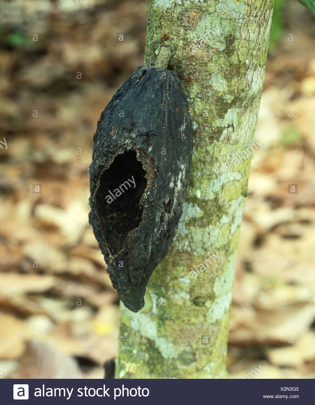 Rat or squirrel rodent damage to a cocoa pod on the bush, Malaysia - Stock Image