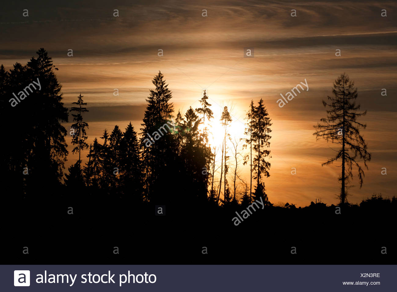 sunset behind spruces, Germany, Rhineland-Palatinate - Stock Image