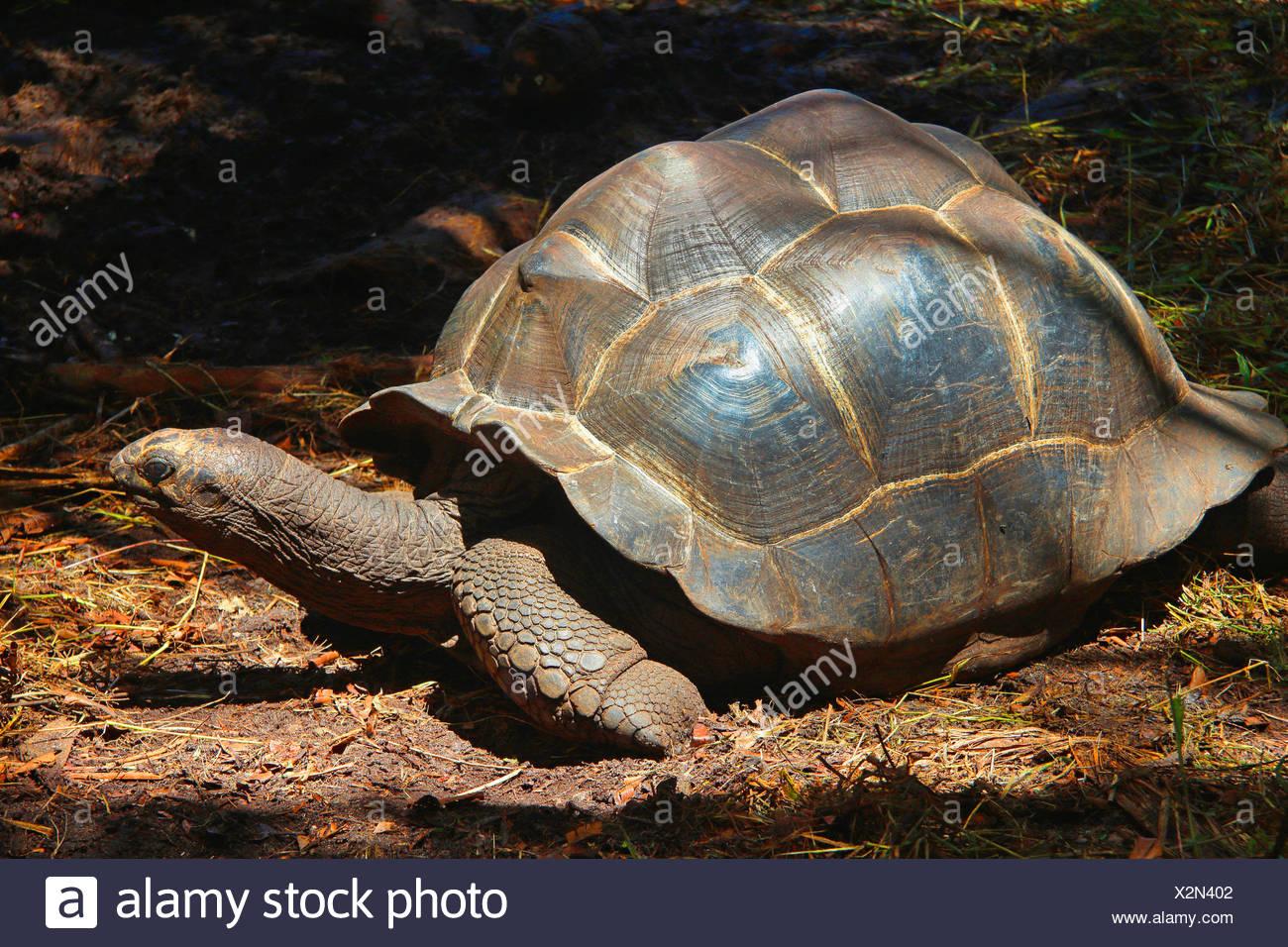Seychelles giant tortoise, Aldabran giant tortoise, Aldabra giant tortoise (Aldabrachelys gigantea, Testudo gigantea, Geochelone gigantea, Megalochelys gigantea), single animal in a glade, Seychelles, La Digue - Stock Image
