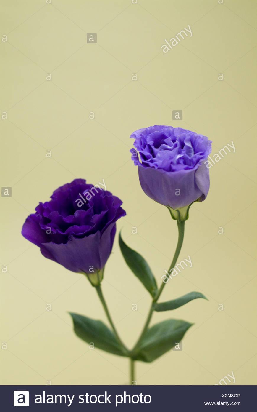 Eustoma grandiflorum - Stock Image