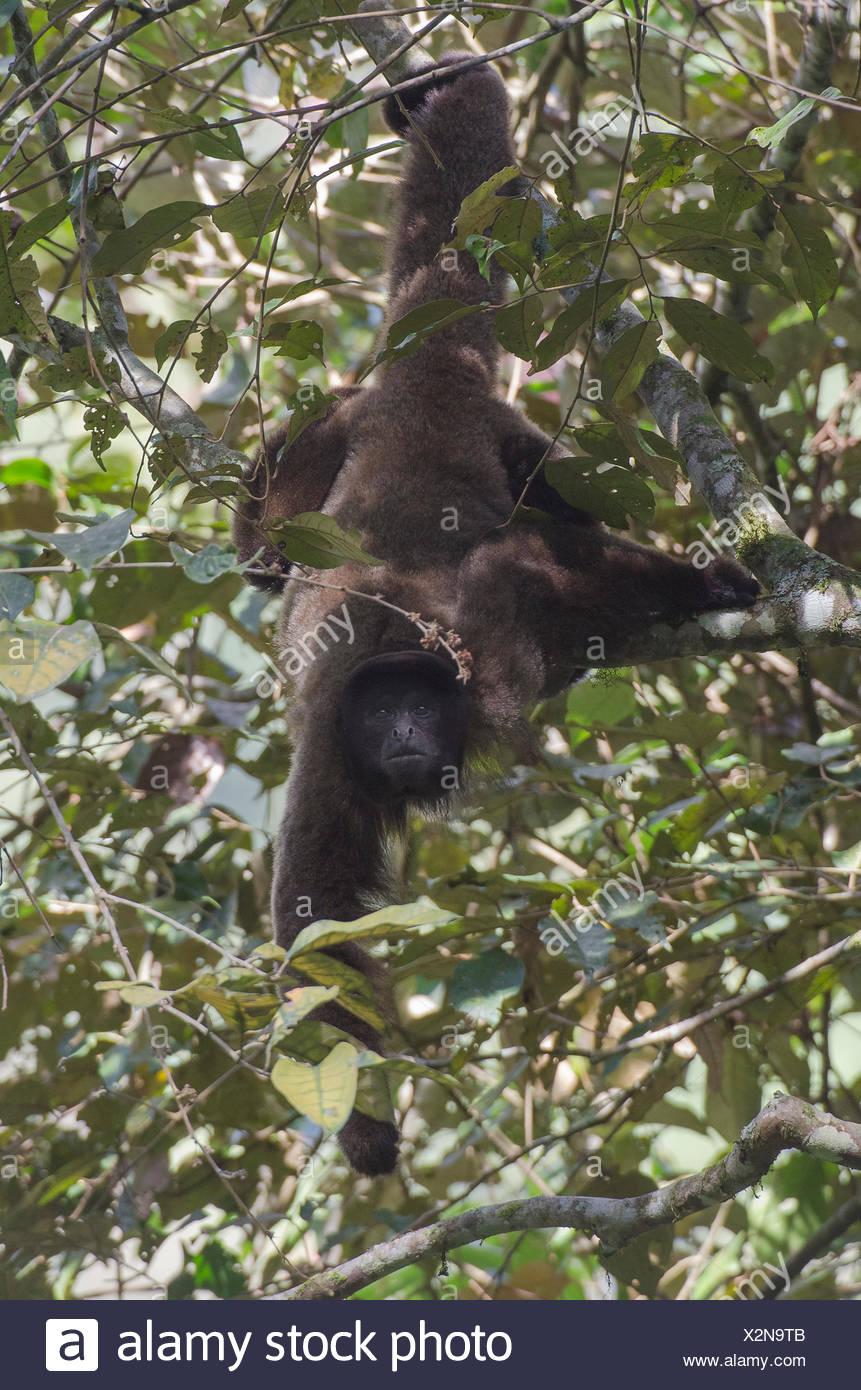 A woolly monkey, Lagothrix lagotricha, foraging. - Stock Image