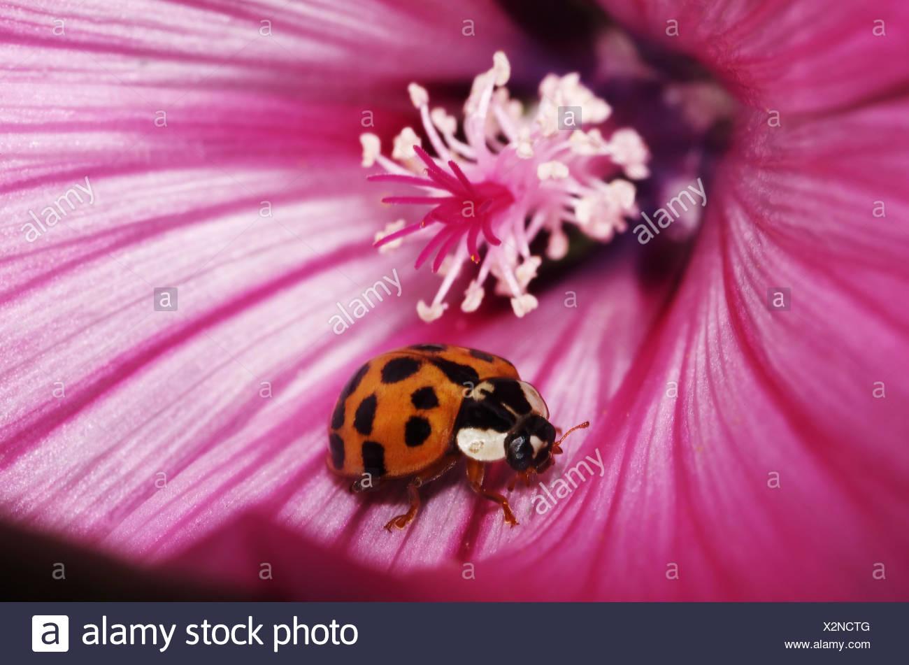 Marienkäfer auf Malvenblüte Stock Photo