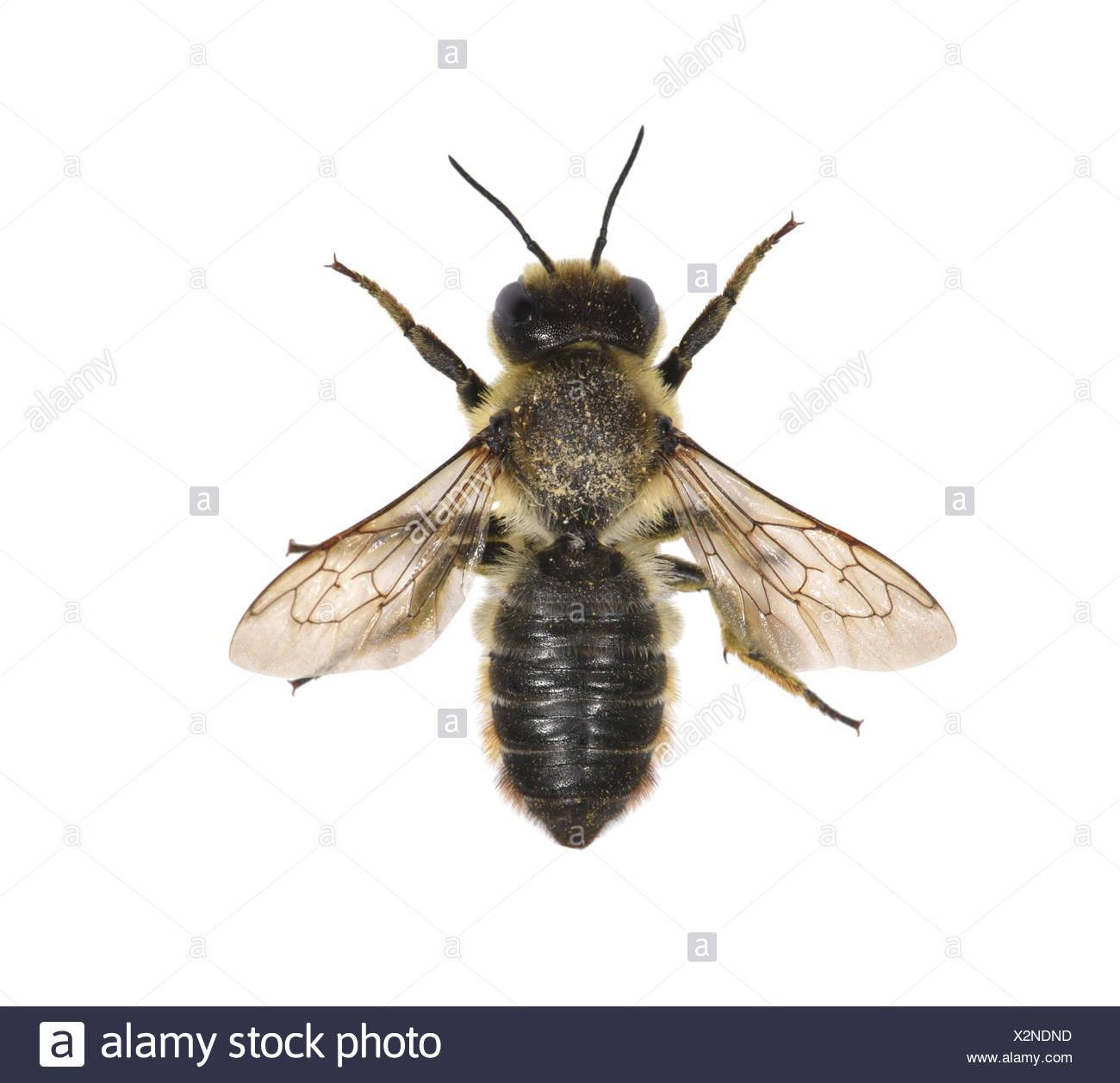 Leaf-cutter Bee - Megachile centucularis - Stock Image