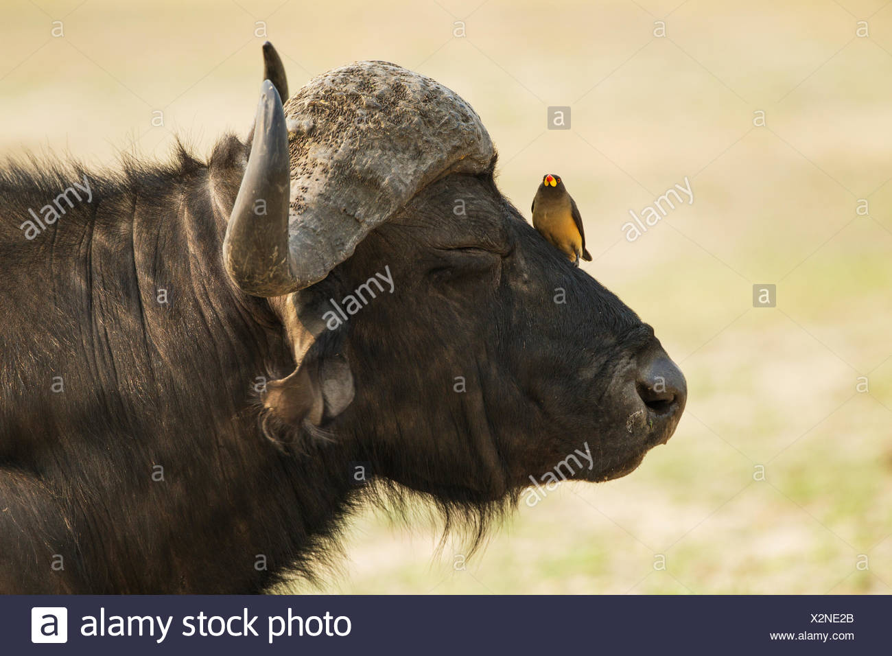 Cape Buffalo (Syncerus caffer caffer), bull with Yellow-billed Oxpecker (Buphagus africanus), the oxpeckers are associated with - Stock Image