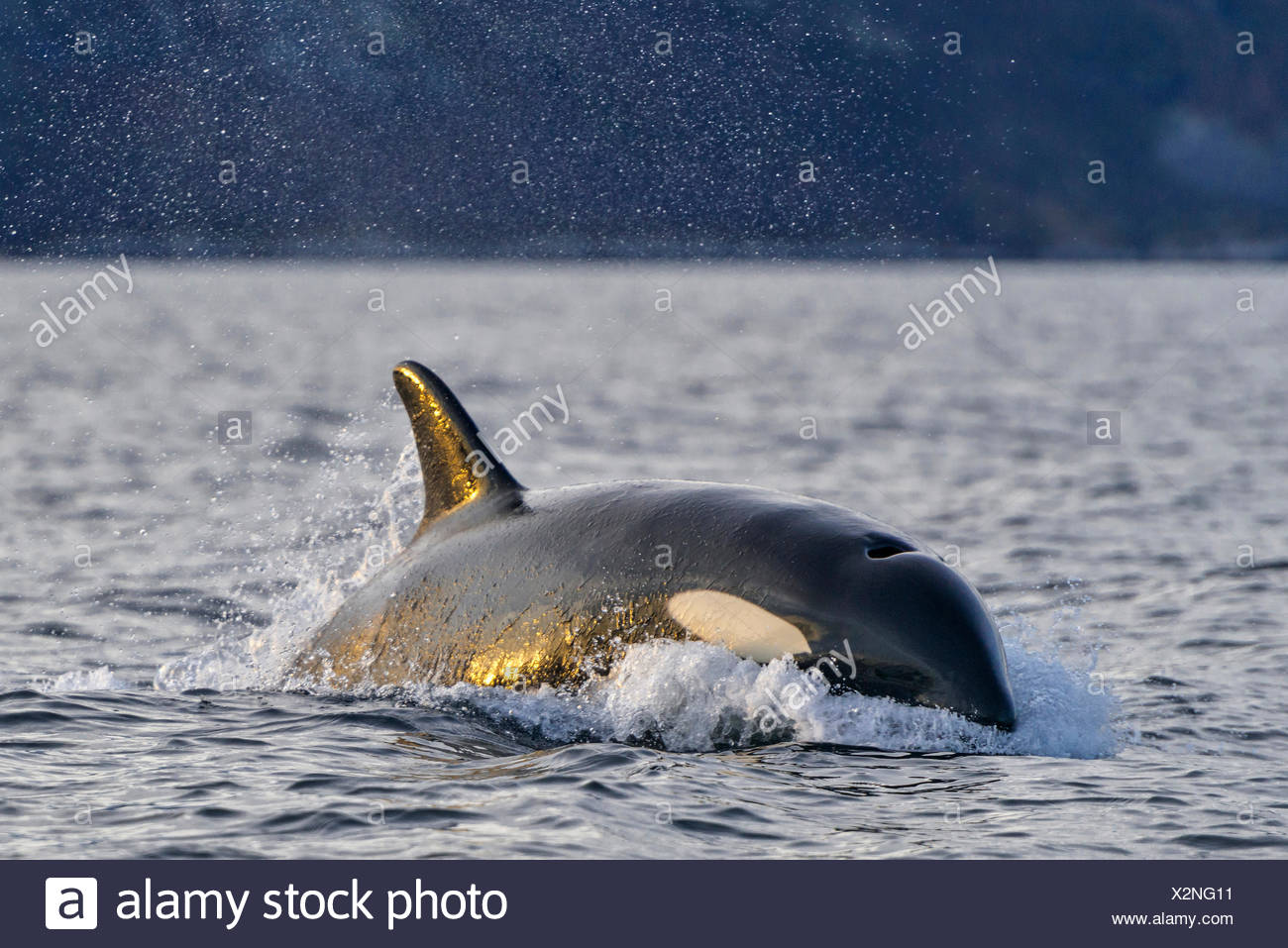 Orca (Orcinus orca), North Atlantic, at Tromvik, Norway - Stock Image