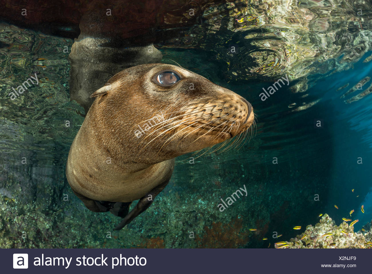California Sea Lion, Zalophus californianus, La Paz, Baja California Sur, Mexico - Stock Image