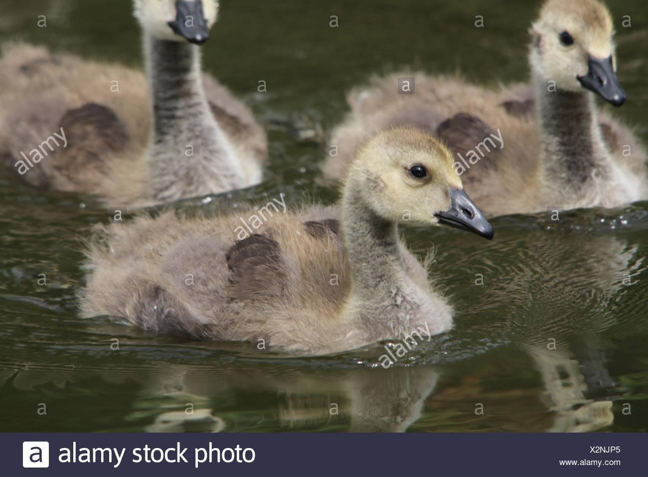 Three Mallard Ducklings - Stock Image